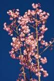 Ταϊλανδικό Sakura στοκ εικόνα
