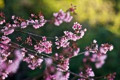 Ταϊλανδικό Sakura στοκ εικόνες