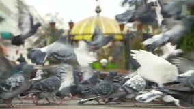 Ταϊσμένα περιστέρια στο τετράγωνο πόλεων απόθεμα βίντεο