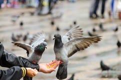 Ταϊσμένα χέρι περιστέρια Στοκ φωτογραφία με δικαίωμα ελεύθερης χρήσης