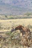 Ταϊσμένο μόνο giraffe Στοκ εικόνες με δικαίωμα ελεύθερης χρήσης