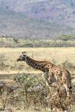 Ταϊσμένο μόνο giraffe Στοκ Φωτογραφία