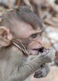 Ταϊλάνδη, επαρχία Krabi Άγριοι πίθηκοι στις παραλίες Στοκ εικόνες με δικαίωμα ελεύθερης χρήσης