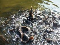 Ταϊλάνδη fishe στο νερό Στοκ φωτογραφίες με δικαίωμα ελεύθερης χρήσης