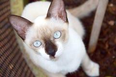 Ταϊλανδικά μάτια γατών Στοκ εικόνα με δικαίωμα ελεύθερης χρήσης