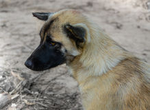 Ταϊλανδικά σκυλί & x28 πρωτόγονο dog& x29  στην επιφάνεια Στοκ Φωτογραφίες