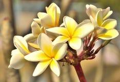 Ταϊλανδικά τοπικά λουλούδια plumeria Στοκ φωτογραφία με δικαίωμα ελεύθερης χρήσης