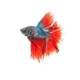 Ταϊλανδικά ψάρια πάλης όμορφο χρώμα Στοκ Φωτογραφίες