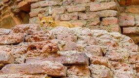 Ταϊλανδικές γάτες που κρύβουν στις αρχαίες καταστροφές Στοκ Εικόνες