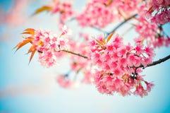 Ταϊλανδική άνθιση Sakura Στοκ Εικόνες