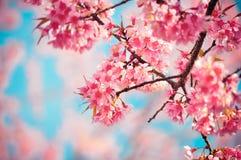 Ταϊλανδική άνθιση Sakura Στοκ Εικόνα