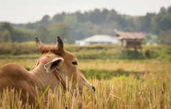 Ταϊλανδική αγελάδα σε έναν τομέα Στοκ φωτογραφία με δικαίωμα ελεύθερης χρήσης
