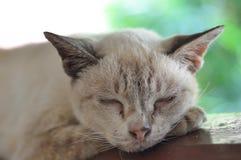 Ταϊλανδική γάτα καφετιά αυτό ύπνος, γλυκό όνειρο στοκ εικόνες με δικαίωμα ελεύθερης χρήσης