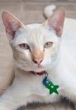 Ταϊλανδική γάτα κλειστός αυξημένος στοκ φωτογραφία με δικαίωμα ελεύθερης χρήσης