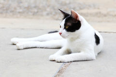 Ταϊλανδική γάτα Στοκ φωτογραφία με δικαίωμα ελεύθερης χρήσης