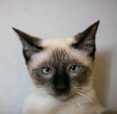 Ταϊλανδική γάτα selfie Στοκ εικόνα με δικαίωμα ελεύθερης χρήσης