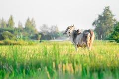 Ταϊλανδική εγγενής αγελάδα φυλής στη χλόη Στοκ εικόνα με δικαίωμα ελεύθερης χρήσης