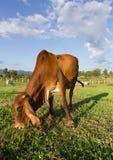 Ταϊλανδική καφετιά αγελάδα που τρώει τη χλόη Στοκ Εικόνες