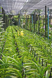 Ταϊλανδική ορχιδέα λουλούδι-17 Στοκ εικόνες με δικαίωμα ελεύθερης χρήσης