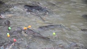 Ταϊλανδικοί λαοί που ταΐζουν στα ψάρια στον ποταμό Chaopraya φιλμ μικρού μήκους