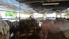 Ταϊλανδικοί λαοί της Ασίας που ταΐζουν τα τρόφιμα ελεύθερα η ζωή του προγράμματος βοοειδών και φιλανθρωπίας βούβαλων στη μάντρα γ απόθεμα βίντεο