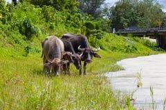 Ταϊλανδικοί βούβαλοι στον τομέα χλόης Στοκ Εικόνες