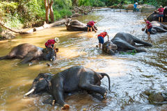 Ταϊλανδικοί ελέφαντες που παίρνουν ένα λουτρό με το mahout Στοκ φωτογραφία με δικαίωμα ελεύθερης χρήσης