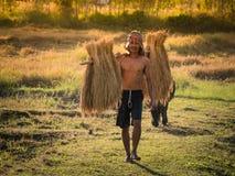 Ταϊλανδικός αγρότης που φέρνει το ρύζι στον ώμο μετά από τη συγκομιδή Στοκ φωτογραφία με δικαίωμα ελεύθερης χρήσης