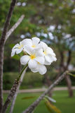 Ταϊλανδικό άσπρο λουλούδι που ανθίζει σε ένα δέντρο Στοκ εικόνες με δικαίωμα ελεύθερης χρήσης