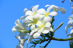 Ταϊλανδικό άσπρο λουλούδι Στοκ φωτογραφία με δικαίωμα ελεύθερης χρήσης
