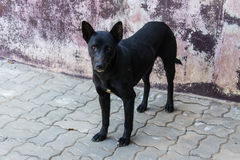 Ταϊλανδικό άστεγο σκυλί στοκ εικόνες