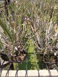 Ταϊλανδικό αγρόκτημα ορχιδεών Στοκ εικόνες με δικαίωμα ελεύθερης χρήσης