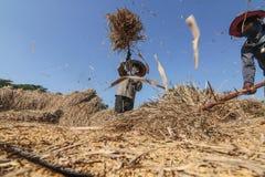 Ταϊλανδικό αλώνισμα αγροτών με το κτύπημα του ρυζιού στο χωριστό σπόρο Στοκ εικόνα με δικαίωμα ελεύθερης χρήσης