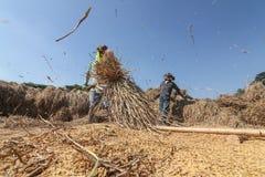 Ταϊλανδικό αλώνισμα αγροτών με το κτύπημα του ρυζιού στο χωριστό σπόρο Στοκ Εικόνες