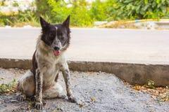Ταϊλανδικό βρώμικο σκυλί Στοκ Φωτογραφίες