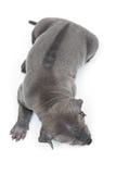 Ταϊλανδικό κουτάβι ridgeback που απομονώνεται στο λευκό στοκ φωτογραφίες με δικαίωμα ελεύθερης χρήσης
