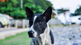 Ταϊλανδικό μαύρος-άσπρο σκυλί στην οδό Στοκ Εικόνα