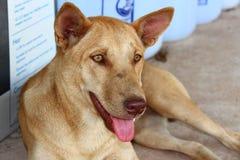 Ταϊλανδικό ξάπλωμα σκυλιών στοκ φωτογραφίες με δικαίωμα ελεύθερης χρήσης