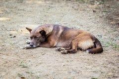 Ταϊλανδικό σκυλί παραμονής Στοκ εικόνα με δικαίωμα ελεύθερης χρήσης