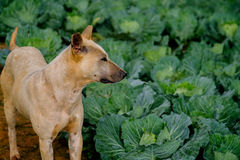 Ταϊλανδικό σκυλί στο αγρόκτημα λάχανων στις ορεινές περιοχές Στοκ εικόνες με δικαίωμα ελεύθερης χρήσης
