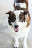 Ταϊλανδικό σκυλί bangkaew πορτρέτου Στοκ εικόνες με δικαίωμα ελεύθερης χρήσης