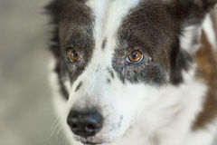 Ταϊλανδικό σκυλί bangkaew πορτρέτου Στοκ Εικόνες