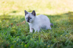 Ταϊλανδικό χαριτωμένο κυνήγι γατακιών Στοκ Εικόνες