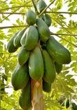 Ταϊλανδικό papaya Στοκ εικόνα με δικαίωμα ελεύθερης χρήσης