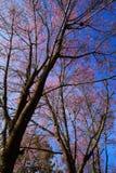 Ταϊλανδικό sakura που ανθίζει κατά τη διάρκεια του χειμώνα στην Ταϊλάνδη Στοκ εικόνα με δικαίωμα ελεύθερης χρήσης