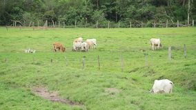 Ταύροι βοοειδών στον τομέα απόθεμα βίντεο