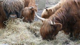 Ταύροι με τη μακροχρόνια κατανάλωση μαλλιού απόθεμα βίντεο