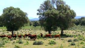 Ταύροι που βόσκουν στον τομέα (4K) φιλμ μικρού μήκους