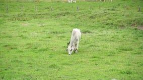 Ταύροι που τρώνε τη χλόη στον τομέα φιλμ μικρού μήκους