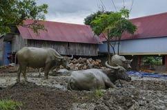 Ταύροι στη λάσπη Βιετναμέζικο χωριό Στοκ Φωτογραφία